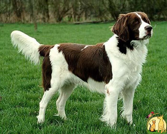 Drentse Partridge Dog Drentse Patrijshond The Netherlands Hondenrassen Leuke Honden Honden