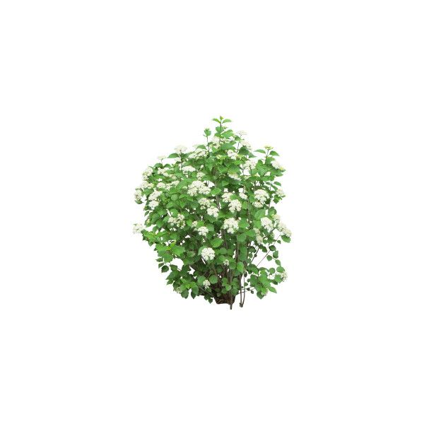 Pin By Mery On Polyvore Bush With White Flowers Shrubs Plants