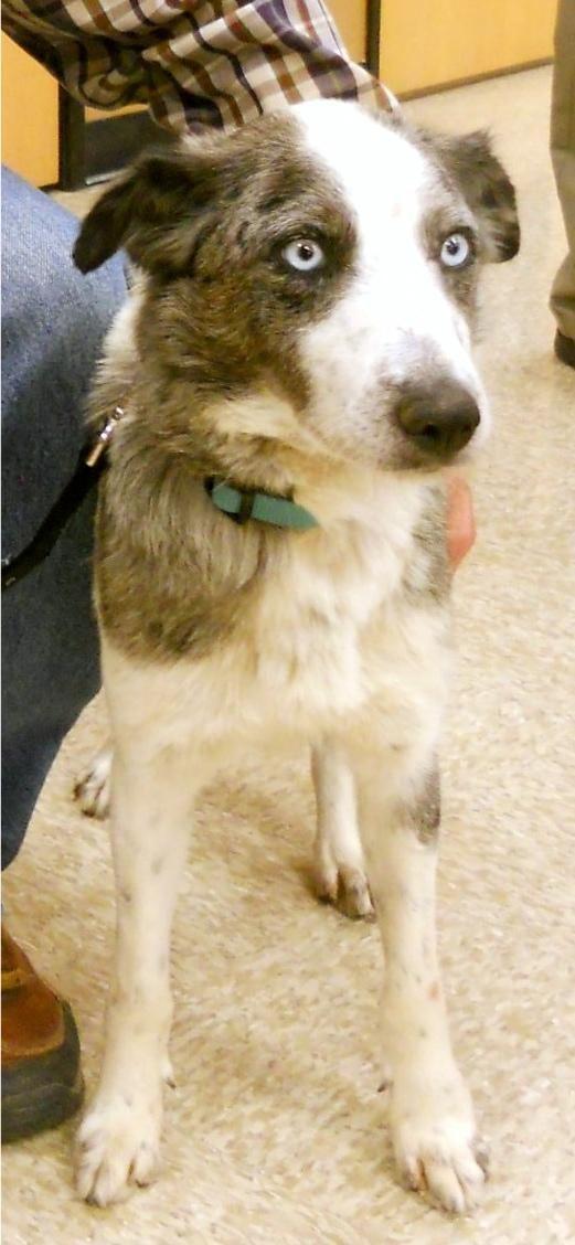 Adopt Blue On Australian Shepherd Dog List Dogs