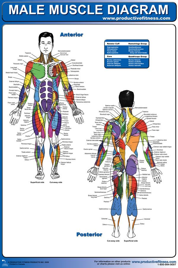 $24.95 - ever wonder what all the names of the muscles in your, Muscles