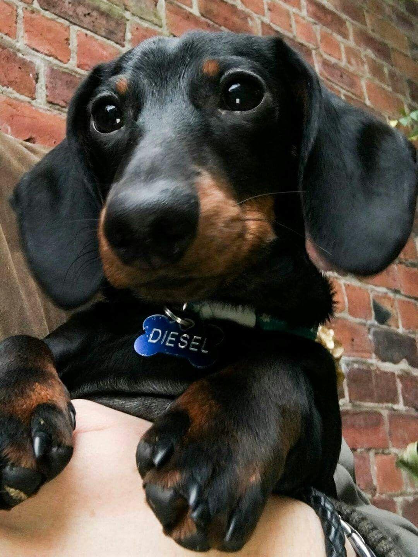 Cutie Cute Dogs Dachshund Black And Tan Dachshund