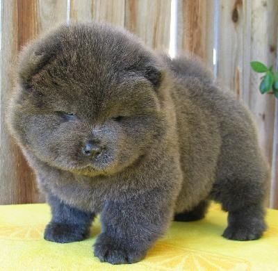 This guy who's tired of your squishing all the time. | 27 Chow Chow Puppies Too Fuzzy For Their OwnGood
