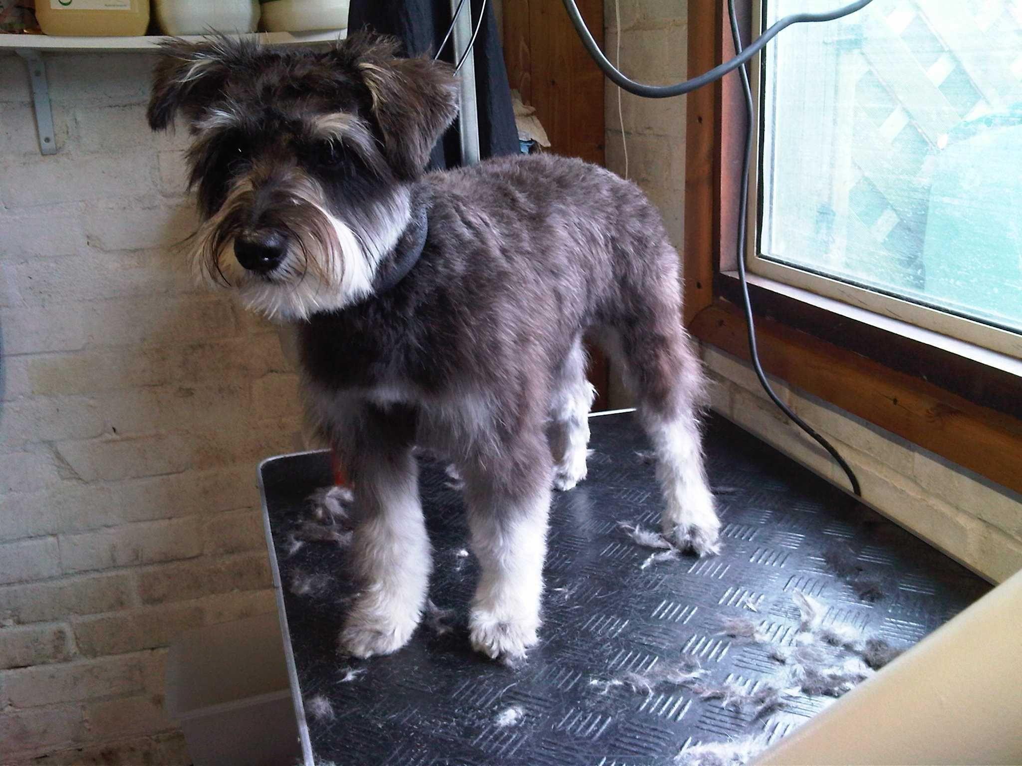 Miniature Schnauzer Hair Styles: Miniature Schnauzer Puppy Cut Grooming