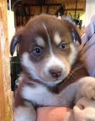 Adopt Aussie Husky Mix Puppies On Petfinder Husky Mix Husky