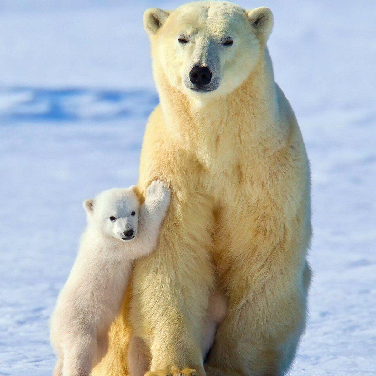 S N On Twitter What A Wonderful Pic Mother Love Https T Co Yplhwp1tvj Baby Polar Bears Polar Bear Wallpaper Cute Polar Bear