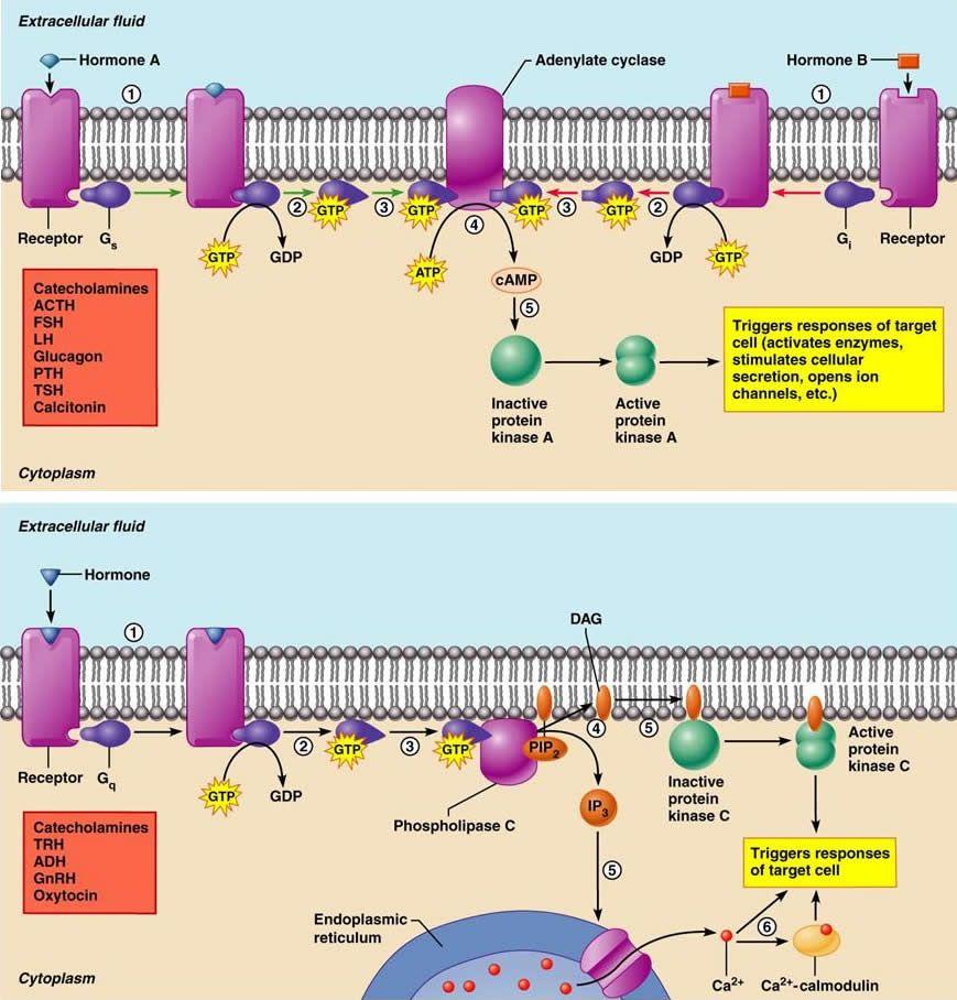 G protein coupled receptor. http://classes.midlandstech.edu/carterp ...