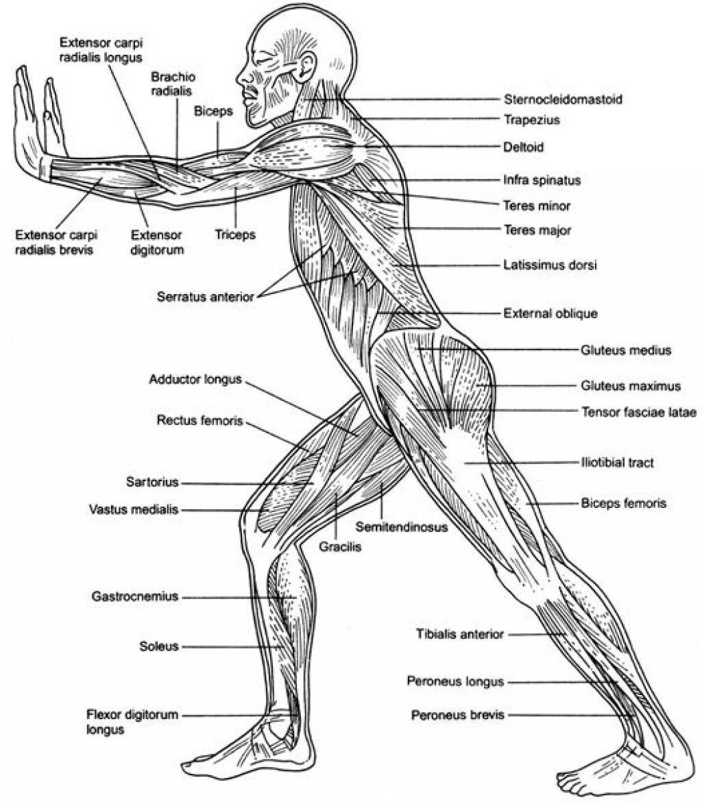 Anatomy Of The Back Muscles With Action