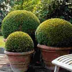 How To Grow Boxwood Beautiful Gardens Garden Containers