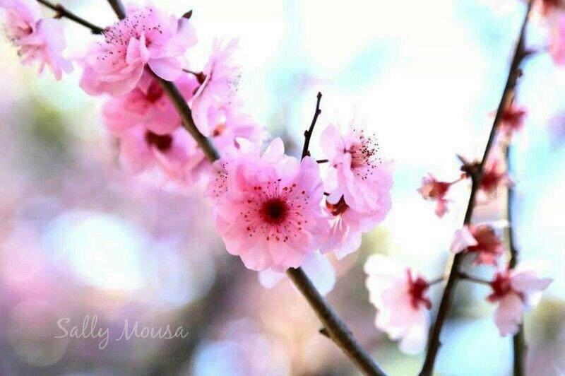 Cherry Blossom Festival Auburn Japanese Gardens Sydney Australia Japanese Garden Plants Japanese Garden Cherry Blossom Festival