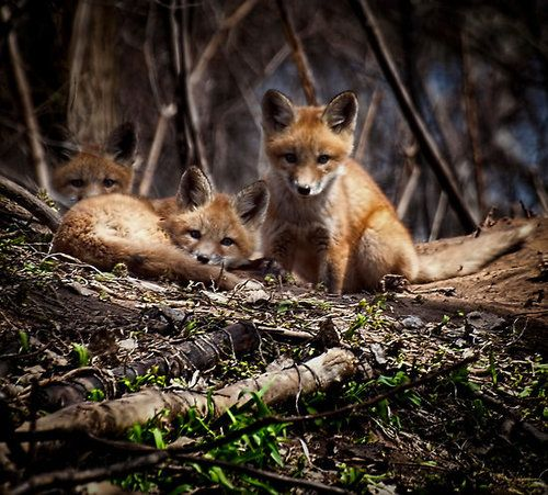 Red Fox Cubs by Thomas Young