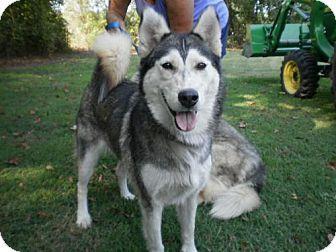 Hope Mills Nc Husky Meet Goldielocks A Dog For Adoption Http Www Adoptapet Com Pet 16860321 Hope Mills North Carolina Pets Kitten Adoption Dog Adoption