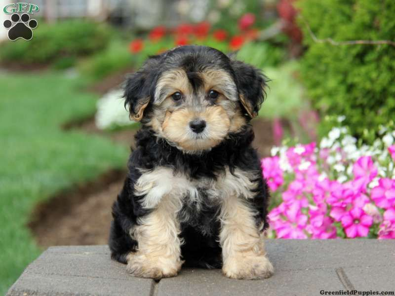 Cooper yorkie poo puppy for sale in gordonville pa