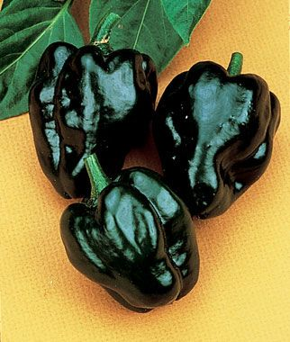 "Pepper, Hot, Poblano (Ancho) Loads of mildly pungent, 2-4"" heart-shaped fruits that ripen from dark green to deep red. Called Ancho when dried, Poblano when fresh.  Plants grow 18-30"" tall. Fully ripened, plum sized red fruits are much hotter and flavorful than the earlier picked green ones. This is one of the most popular peppers grown in Mexico and my secret ingredient to chili."