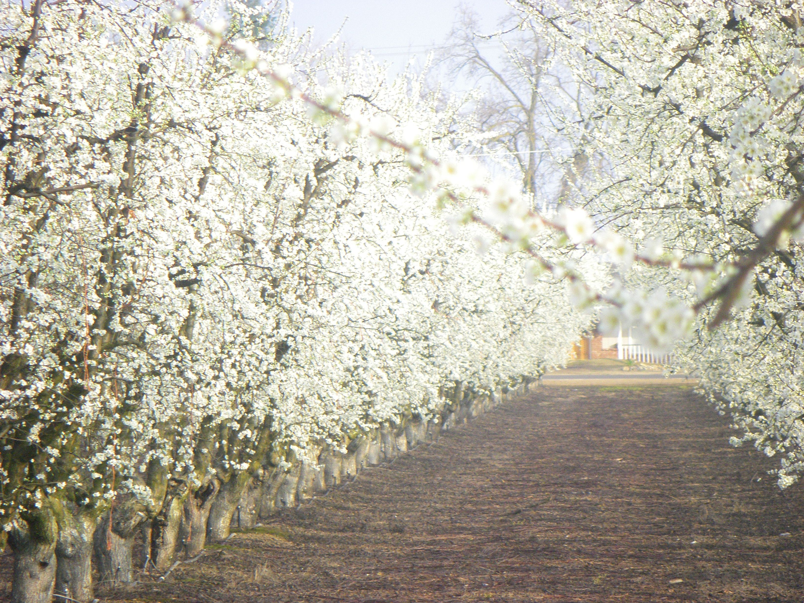 In The Field During Early Spring Trees Are Entering The Bud And Bloom Stage White Blossoms On Plum Trees Pink Blossoms Farm Fresh Fruit Farm Pink Blossom
