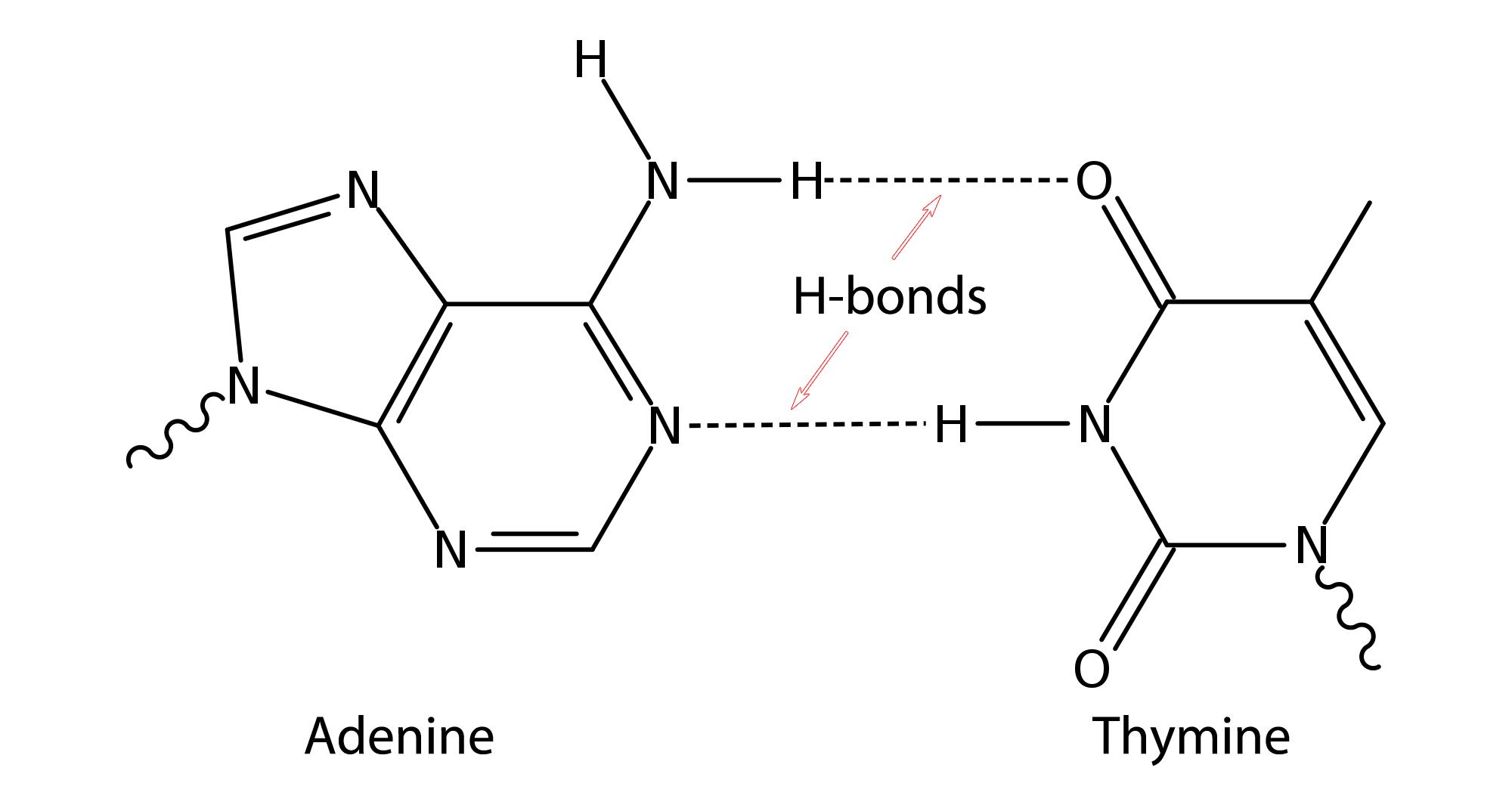 Image result for dna hydrogen bonds dna structure pinterest image result for dna hydrogen bonds ccuart Gallery