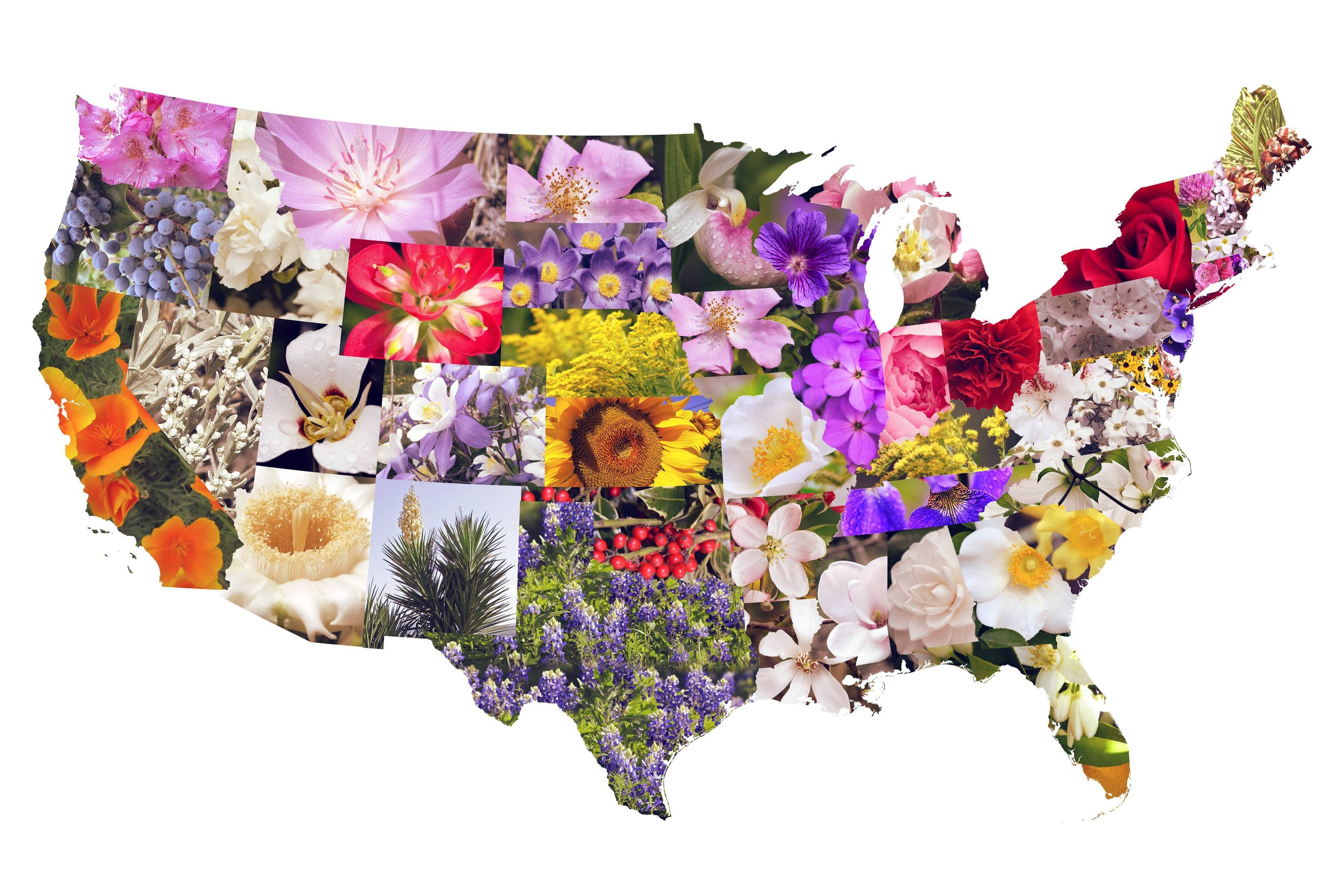 Man In The United States Map.State Flowers Of The Contiguous United States North America United
