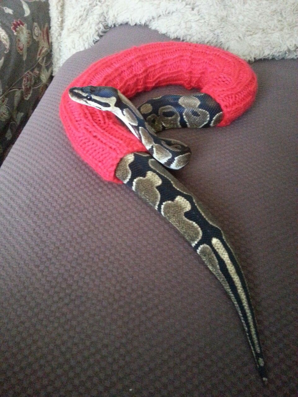 Snake in a sweater animals snake animal pets snakes