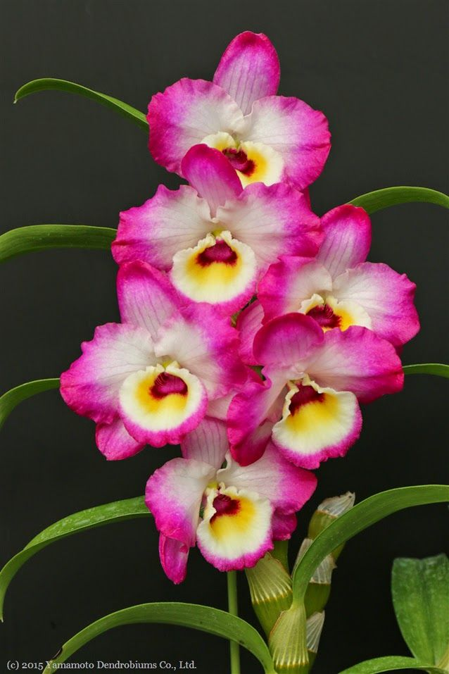 Liberty Bell Passion Dendrobium Nobile Beautiful Flowers Orchids