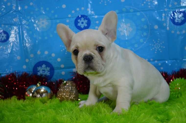 Searching For French Bulldog Puppies With Affordable Price Contact Frenchies And Pugs We Are Leading Puppies For Sale French Bulldog Bulldog Puppies For Sale