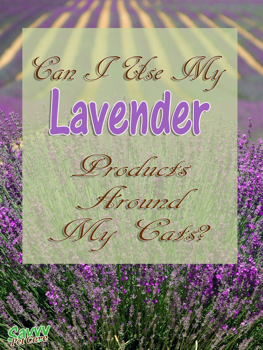 Is Lavender Toxic to Cats? Cat nutrition, Can dogs eat