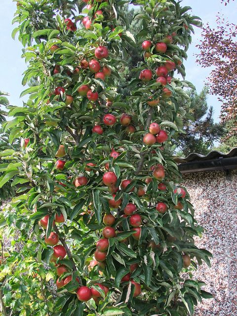 Earth Wind Water Fruit Opia Part Ii Some More Refined Apples Garden Trees Inside Garden Picture Tree