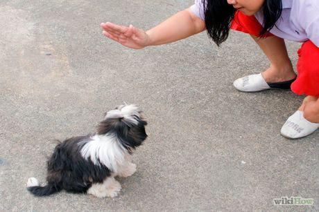 Train Your Shih Tzu Dog Training Shih Tzu Puppies