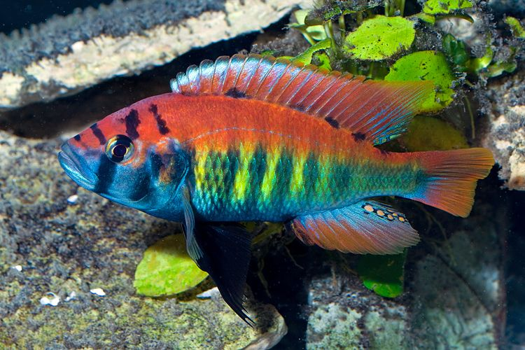 How to breed convict cichlids cichlids fish and aquariums for Aggressive fish for sale