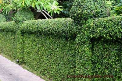Living Fence Ideas A Guideline Natural Fence Fence Plants