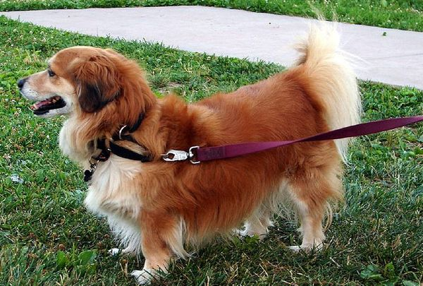 Top 25 Corgi Hybrids Corgi Golden Retriever Corgi Mix Breeds Golden Retriever Corgi Mix
