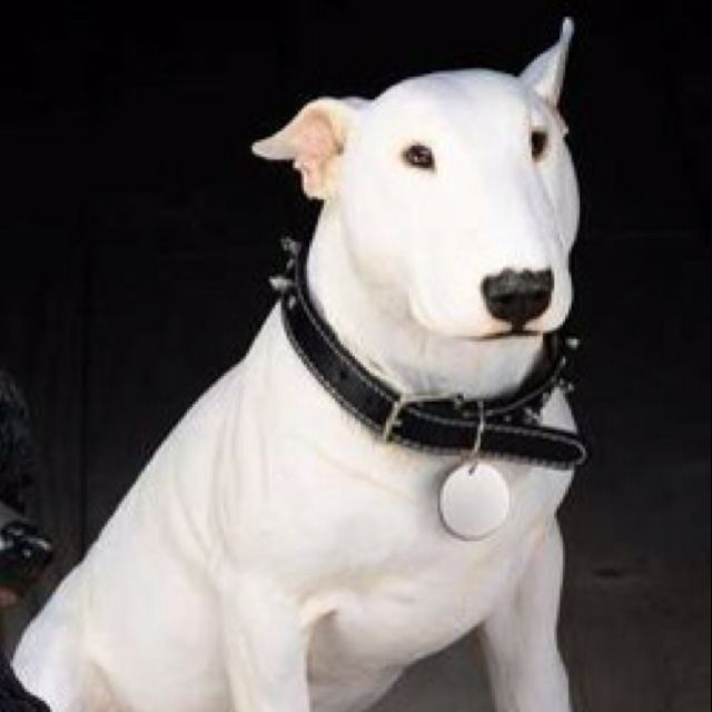 I Ve Wanted A Bull Terrier For So Long But Fear I Ve Ruined Jeff