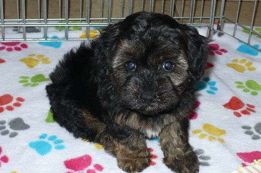 Maltese Poodle Toy Mix Puppy For Sale In Tucson Az Adn 48375