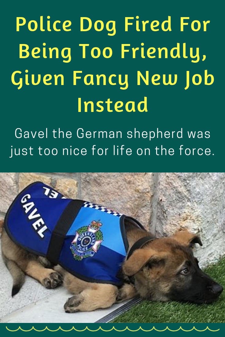 Police Dog Fired For Being Too Friendly Given Fancy New Job Instead Police Dog Fired Friendly Fancy New Job Animals Police Dogs Majestic Animals Dogs