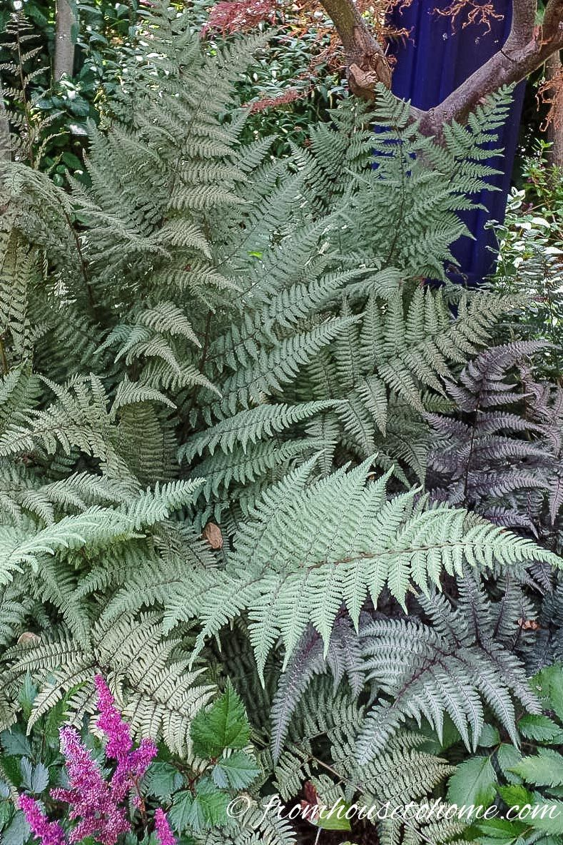 Japanese Painted Fern | Shade Perennials To Plant With Spring Bulbs |  Planting Bulbs In Your Garden Is A Great Way To Ensure Lots Of Blooms When  Spring ...
