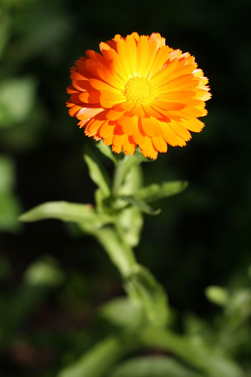 Pin By Kamila On Bylinky A Rostlinky Calendula Benefits Calendula Plants