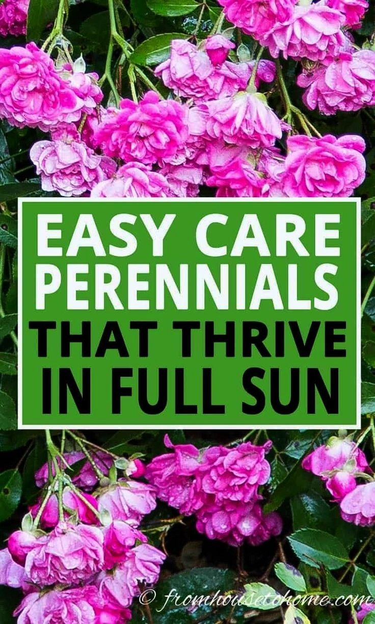 Sun Perennials 10 Low Maintenance Plants That Thrive In The Sun  These low maintenance perennials all have pretty flowers and will brighten up your full sun garden border...