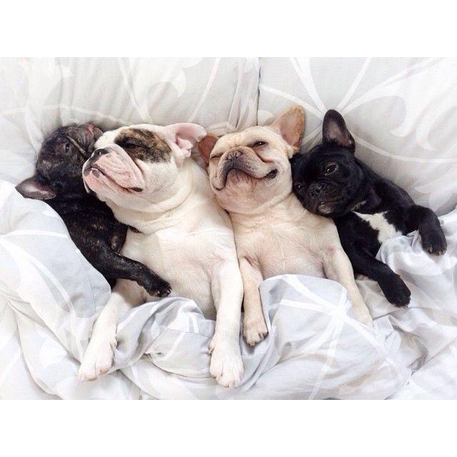 We Love Frenchies French Bulldog Via Ladmob Com We Love