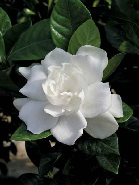 Gardenia This Is My All Time Favorite I Wish They Grew In