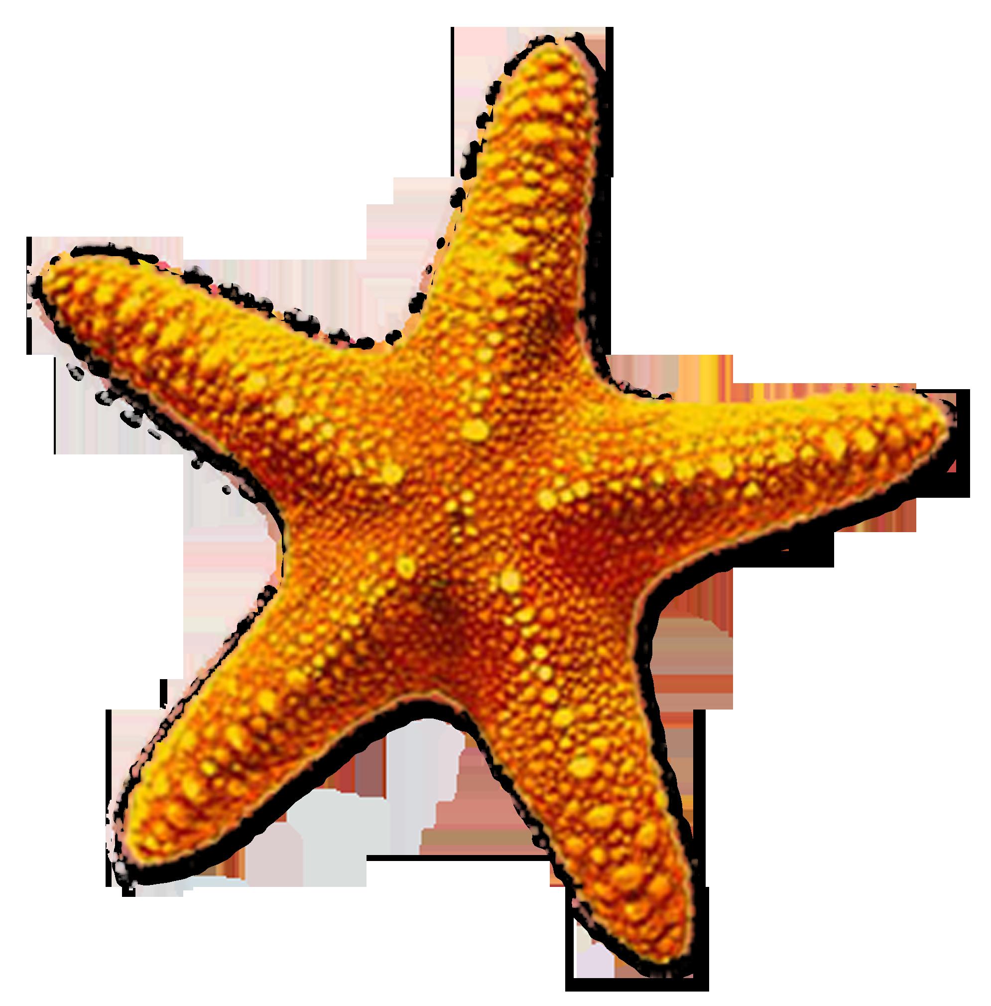 Starfish Png Google Search Ideias Desenhos Legais