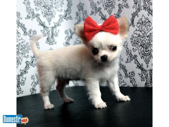 Adorable Champion Sired Chihuahua Puppies Ready To Go To Pet Homes