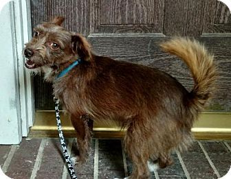 Chihuahua/Wirehaired Fox Terrier Mix Dog for adoption in Houston ...