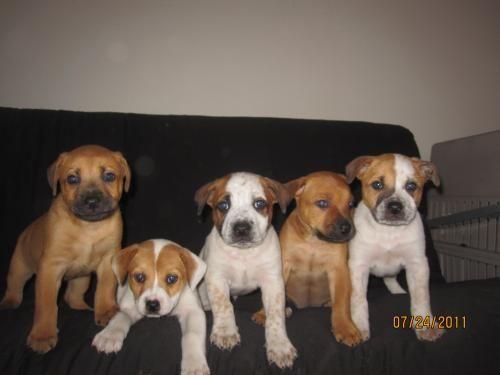 Red Heeler/Boxer Pups BoxerPups Red heeler, Boxer dogs