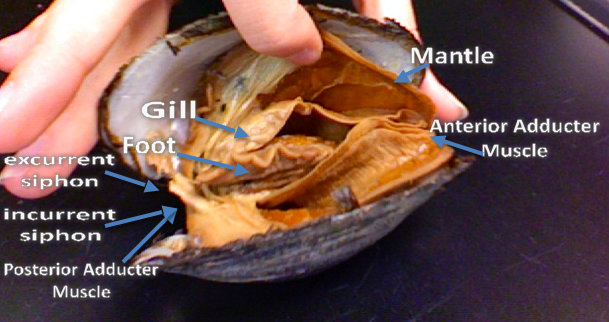 Great diagram for dissecting a clam! | dissecting info | Pinterest ...