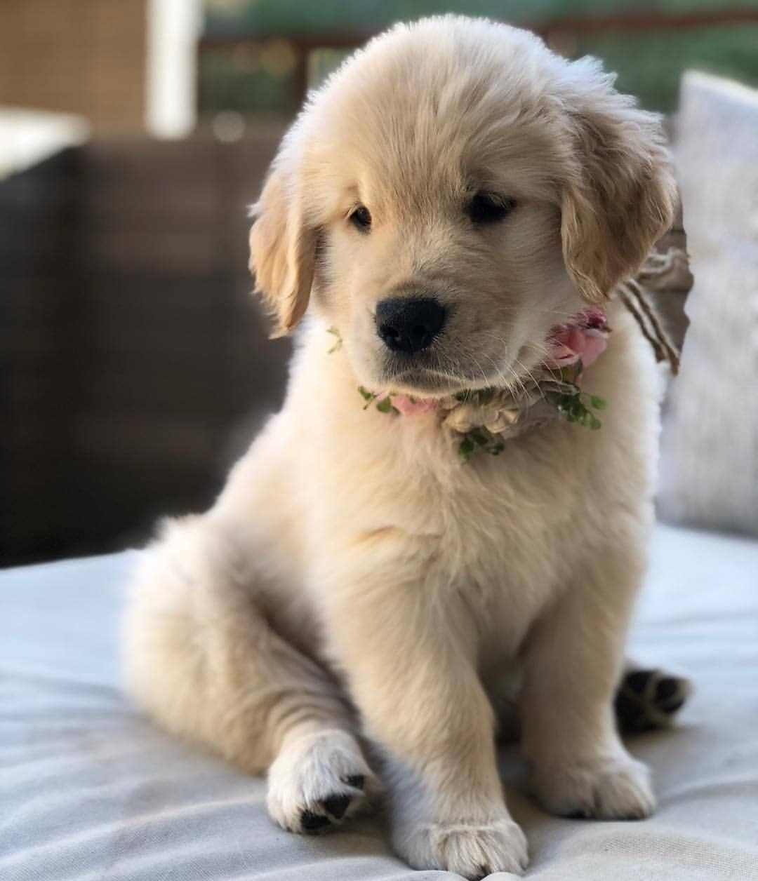 Golden Retriever On Instagram Follow Us