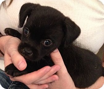 Palmdale Ca Chihuahua Shih Tzu Mix Meet Reily A Puppy For
