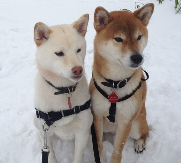 Cream And Red Shiba Inu Sister And Brother For You Cameron Fay