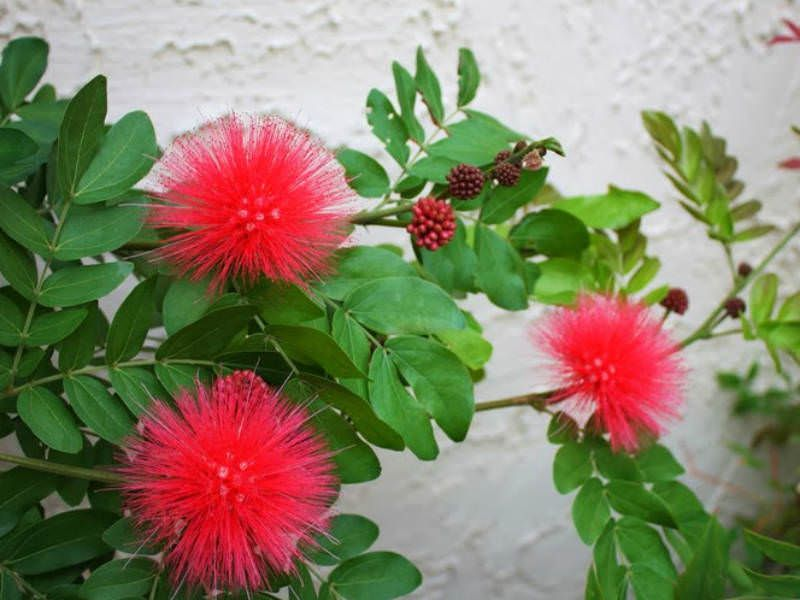 Calliandra Haematocephala Red Powder Puff World Of Flowering Plants Trees To Plant Powder Puff Plants
