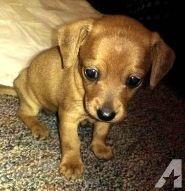 Adorable Chiweenie Puppies 7 Weeks Old Chiweenie Puppies Chiweenie Cute Baby Animals