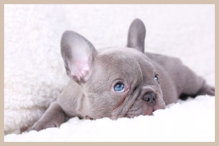 Pin On Blue Frenchie