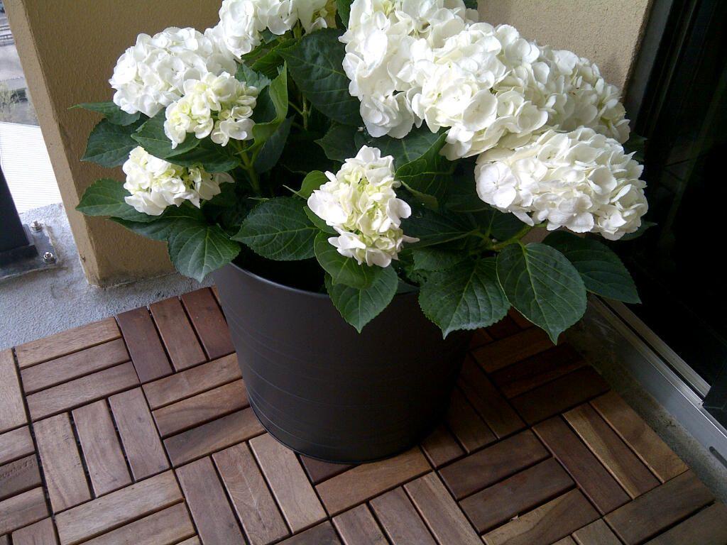 White Hydrangeas From Trader Joes The Start Of My All White Flower Garden White Hydrangea White Flowers Flower Garden