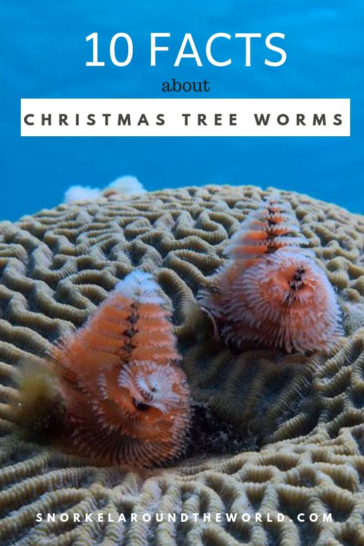 10 facts about Christmas Tree Worms